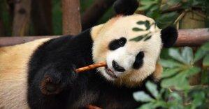 Пандемия COVID-19: канадский зоопарк решил вернуть панд в Китай из-за нехватки бамбука